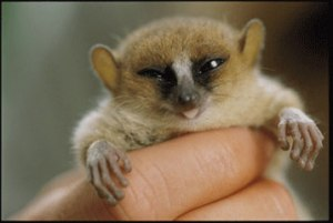 baby-mouse-lemur-cryptomundo----three-new-lemurs-gghol2od
